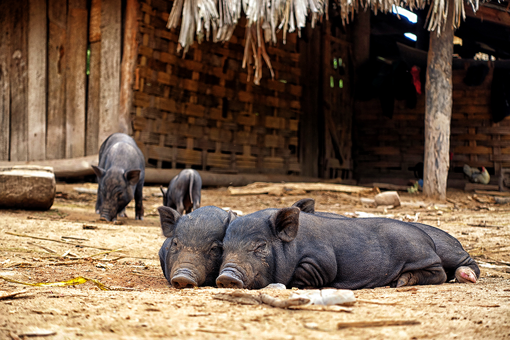 All kind of animals share the space at a hilltribe vilalge in Nam Ha National Park, Laos